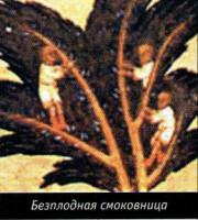 Безплодная смоковница